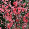 Flowering Quince Branches