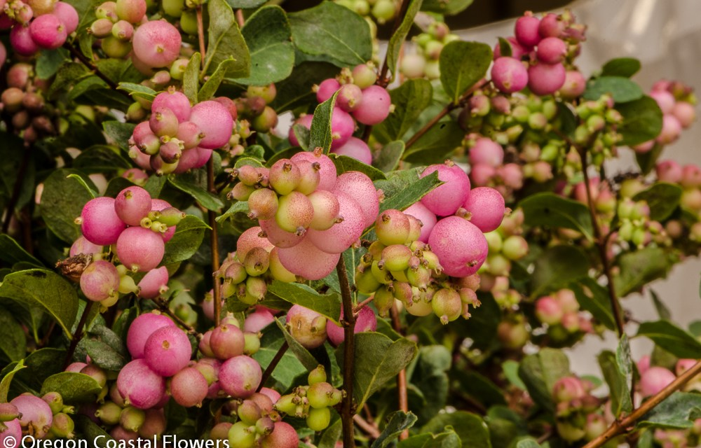Pink and Green Snowberries