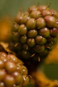 Cut Thornless Blackberry Vines