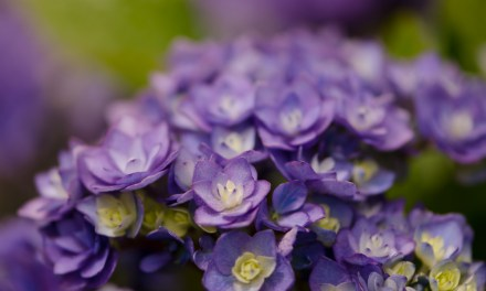 Double Blooming Lavender Hydrangea