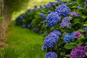 Naturally Grown Big Blue Hydrangea Flowers