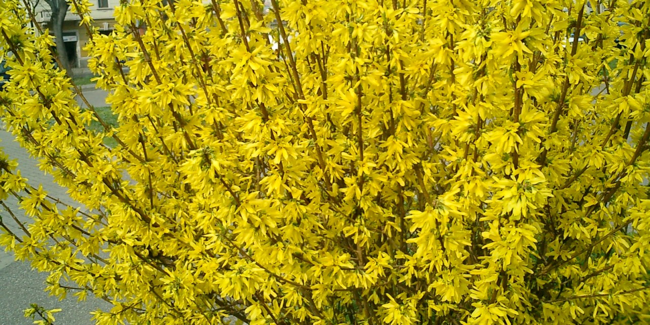 Chinese New Year Forsythia Flowering Branches.