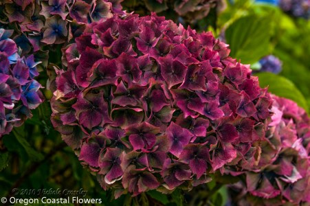 Antique Burgundy Bridal Hydrangea Flowers