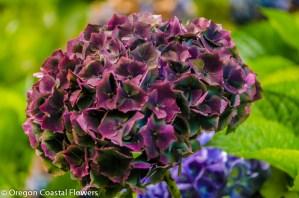 Antique Burgundy Wedding Hydrangea Flowers