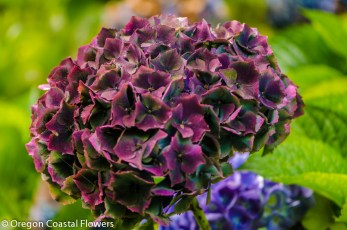 Antique Burgundy Wedding Hydrangea Flowers