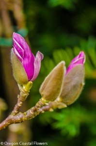 Unique Winter Tulip Magnolia Branches Specimen