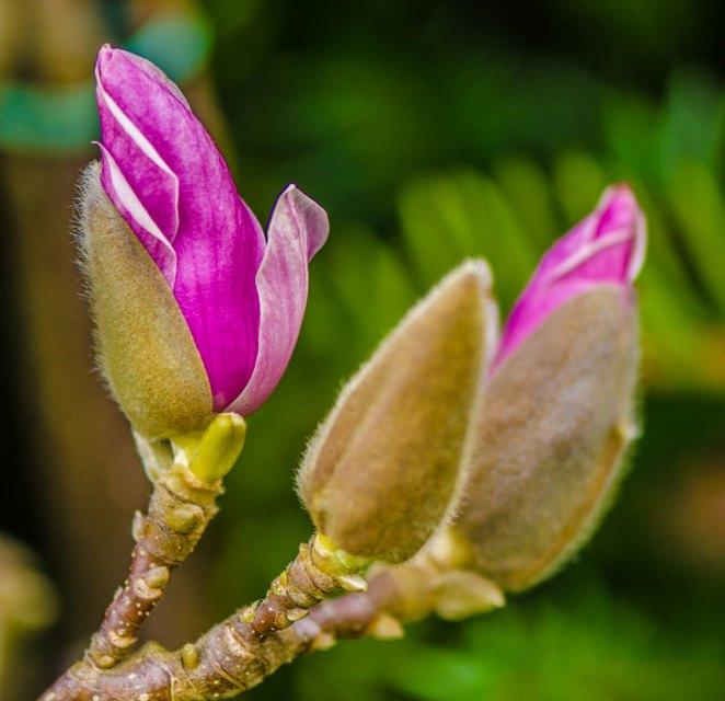 Unique Winter Tulip Magnolia Branches Specimen
