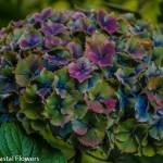 Blue Antique Hydrangea