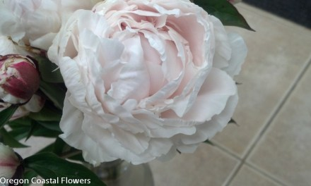 Blush Peonies at Wholesale Prices