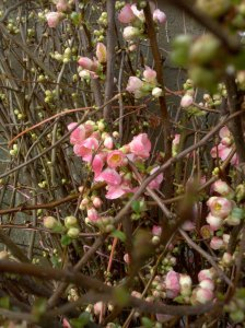 Chinese New Year Flowering Quince Branches