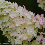 Creamy White and Pink Pee Gee Hydrangea