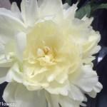 Creamy White Peonies