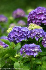 Dark Lavender Hydrangea Bridal Flowers