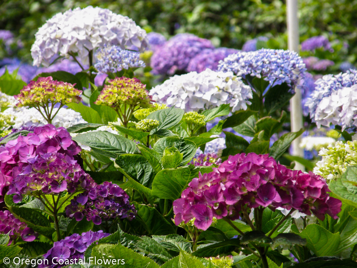 Dark Pink Hydrangea Flowers Oregon Coastal Flowers