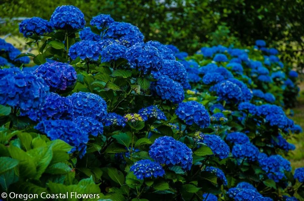 Dark Blue And White Flowers: Big Blue Hydrangea Wedding