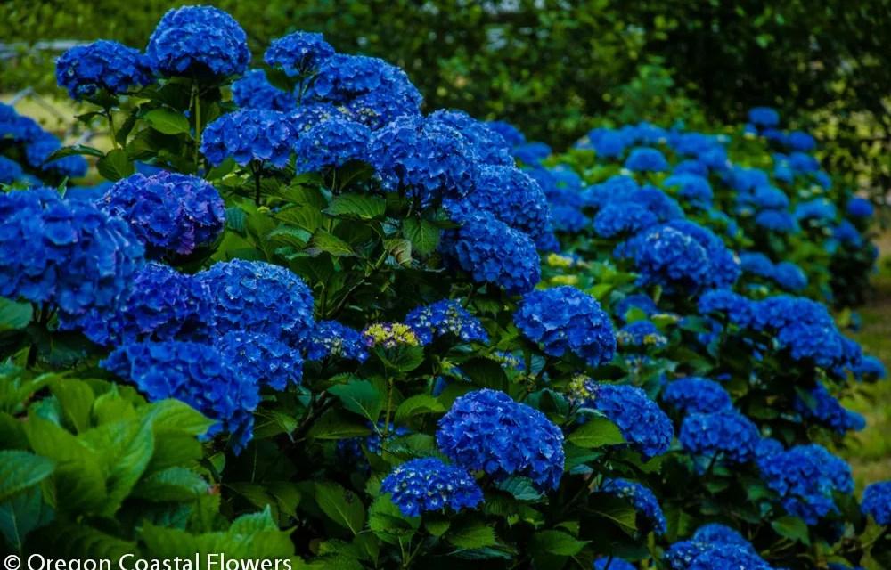 Fresh Dark Blue Hydrangea