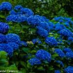 Deep Dark Blue Wholesale Fresh Hydrangea Flowers