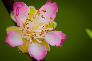 Delicate Spring Pink Flowering Peach Branches