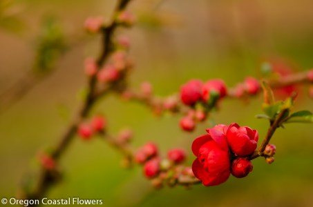 Flowering Red Quince Chinese New Year Branches