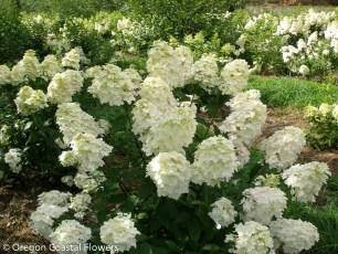 Fresh Creamy Pee Gee Hydrangea