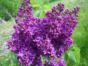 Fresh Cut Purple Lilac