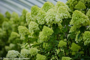 Fresh Lime Light Hydrangea