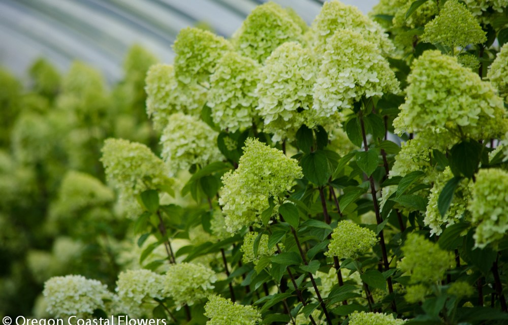 Delicate and Fragrant Limelight Hydrangea