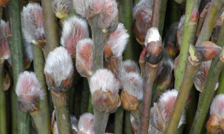 1.27.20 Pussy Willow, Contorted Filbert, Red Dogwood, & Fantail Willow