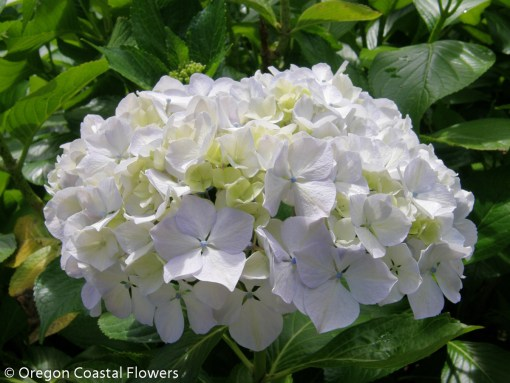 Fresh White Hydrangea Wedding Flowers