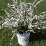 Fresh White Spirea for Your Wedding