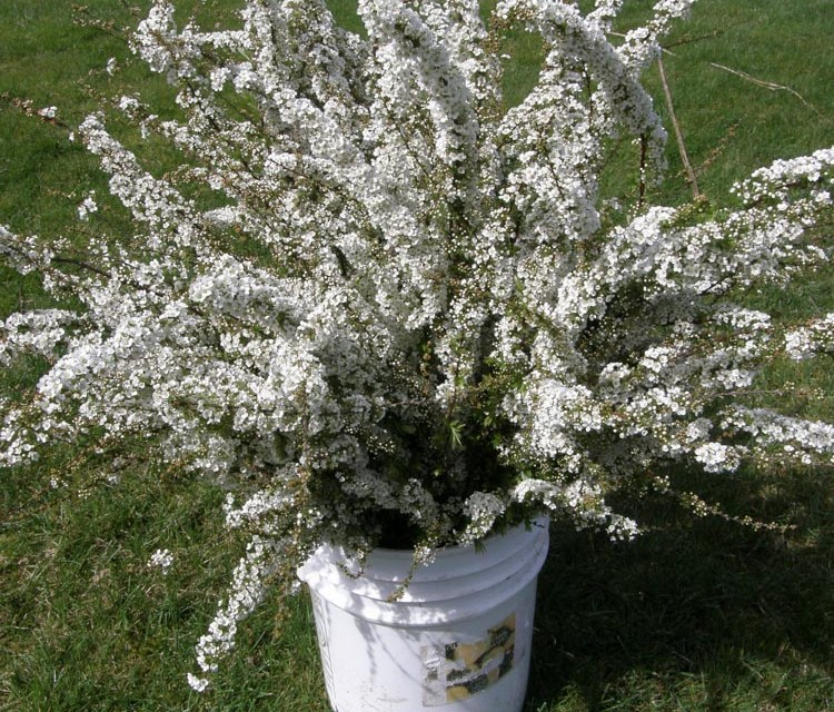 3.28.19 Spirea Specialty Cut Flowers available early spring wholesale from Oregon Coastal Flowers