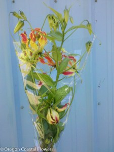 Gloriosa Lily Bulbs