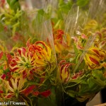 Gloriosa Lily Flowers on a Vine