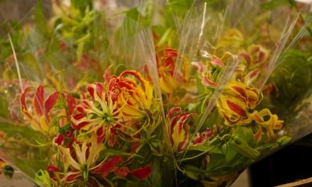 American Grown Gloriosa Lilies