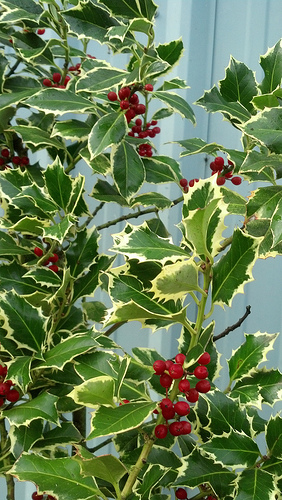 Variegated holly with red berries oregon coastal flowers variegated holly with red berries mightylinksfo