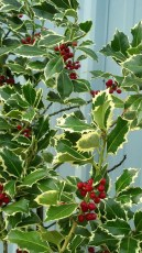 Green and White Holly Branches with Red Berries