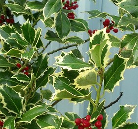Variegated Holly with Red Berries