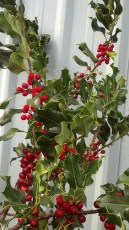 Green Holly Branches
