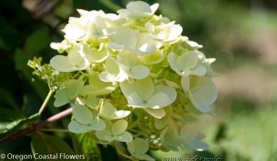 Green Limelight Hydrangea Flowers
