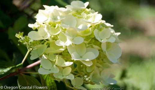 Green Limelight Hydrangea Flowers