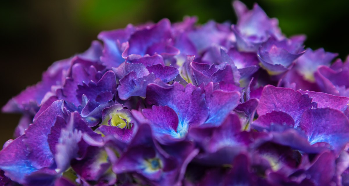 7.16.18 Vivid, Dark Purple Hydrangea Weddings