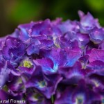 Hardy Purple Hydrangea Wedding Flowers