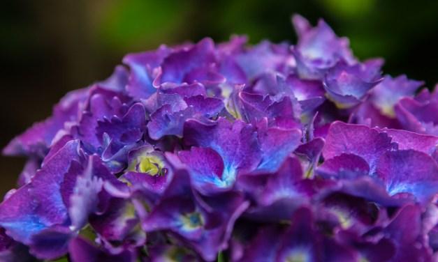7.16.18 Vivid, Dark Purple Hydrangea Weddings