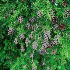 Hemlock Branches with Cones