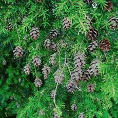 Hemlock Branches with Cones