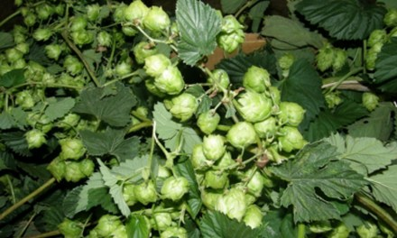 Early Season Hop Vines Available