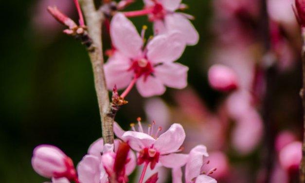 Prunus Blooming Branches 3.12.18