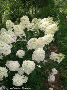 Ivory Pee Gee Hydrangea Wedding Flowers