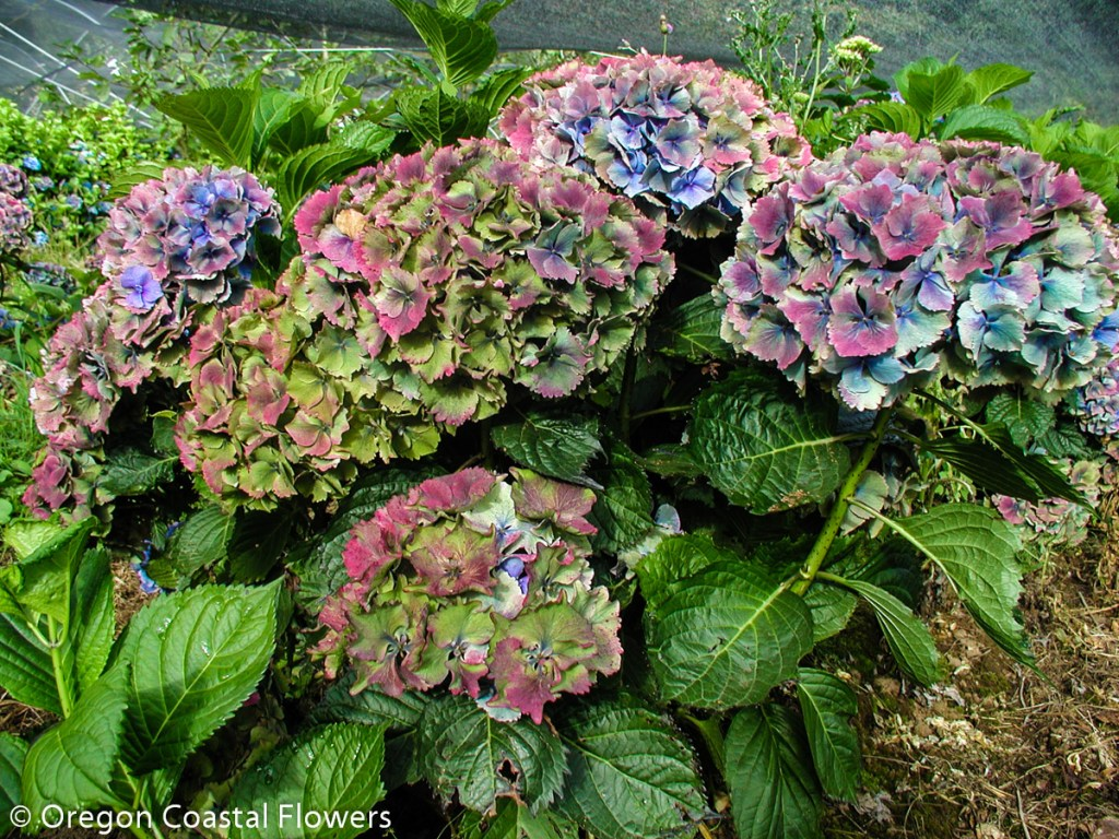 Wholesale Fresh Cut Hydrangeas Oregon Coastal Flowers