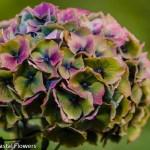 Jumbo Antique Hydrangea Flowers